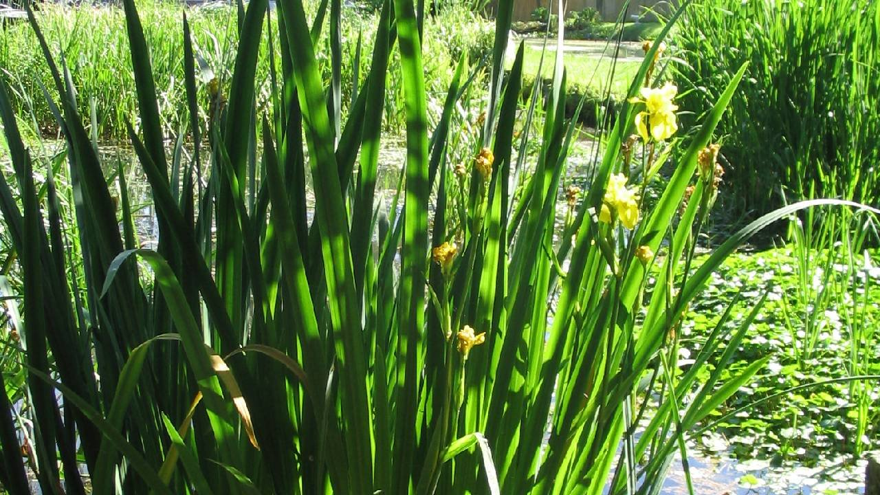 Plantes filtrante ou de lagunage