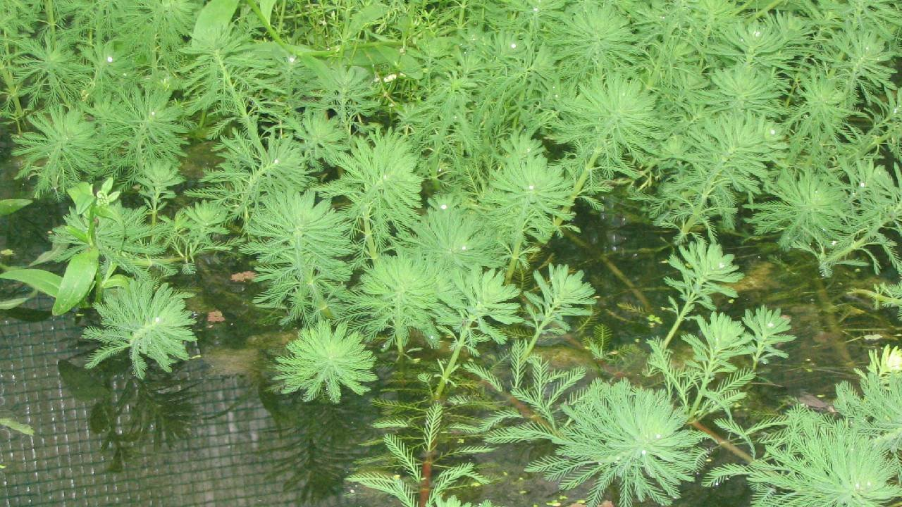 Plante oxygénante